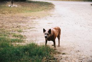 Red Heeler by Chris01125