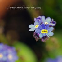 Twin Forget Me Nots by Hitomii