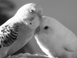 2 Parakeets - Black and White by rush---2112