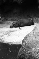 Sleeping Hippo by lordmaky01