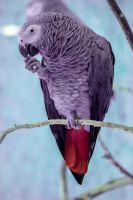 African Grey Parrot - The Thinker by nihuyah