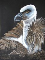 Griffon Vulture 5 by HouseofChabrier