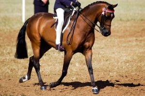 Show bay pony ridden by Chunga-Stock