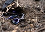 Blue-tailed Skink Hatchlings by Dwagonite