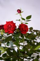 Red roses by Artculpit