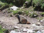 marmotte by mister-weed
