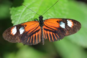 Orange-Black Butterfly by Shingau
