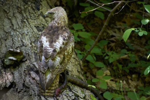 Hawk with a Snake by AmblingPhotographer