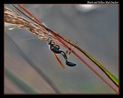 Mud Dauber again by boron