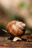 Helix pomatia 1 by swissnature