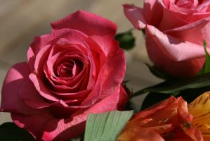This Rose is Pink by KayDensPhotography