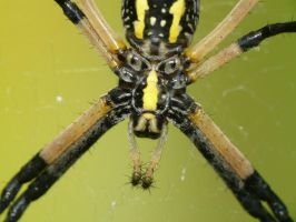 Ventral view, Argiope by duggiehoo