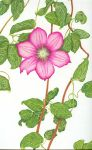 Clematis by strohat