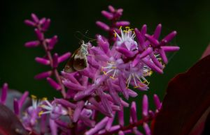 Brown Skipper on a pink flower by EyeInFocus