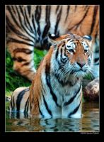 Siberian Tiger 6 by grugster