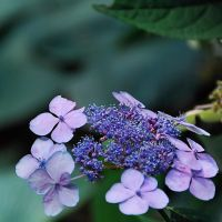 colors of hydrangea I by Wilithin