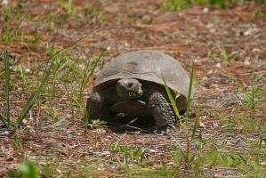 The Hungry Tortoise by DracoFlameus