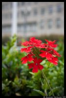 Blooming Red by alasse91