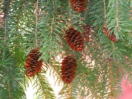 Conifer Cones by Kitteh-Pawz