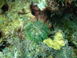 ROPanama Research: Rainbow Urchin by Namyr