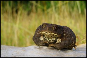 Common toad for Gigi by Pildik
