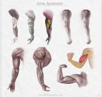 Arm Anatomy by Azot2014
