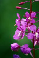 Lovely Fireweed by XxQuothTheRavenxX