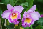 Cattleya 4 by secondclaw