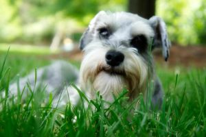 Miniature Schnauzer IX by LDFranklin