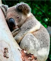 KOALA SNUGGLING UP by LESHA