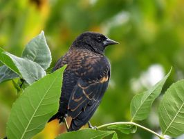 red wing black bird, pic 2 by Nipntuck3