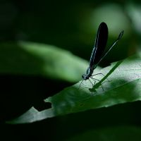 Blue Damselfly by pubculture