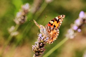 Le papillon by chtijerome