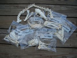 Red Fox Skeleton by Grunerhund