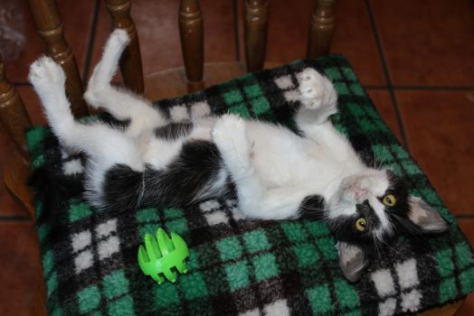 Taxidermy Black and White Kitten - Rory by SilentSoulsnet