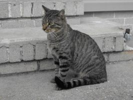 grey tabby stock 10 by tahbi