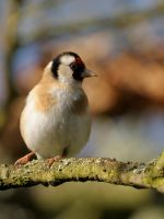 May Morning Goldfinch by WestLothian