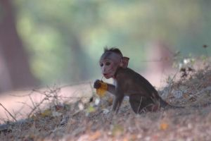 baby monkey holding a leaf by varanid64