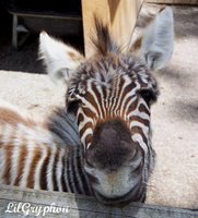 Baby Zebra by lilgryphon23