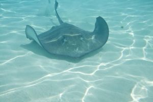 Stingray City by youngwhit