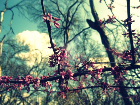 Redbud by and-we-danced13