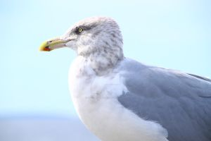 Seagull by VictoriaLPF