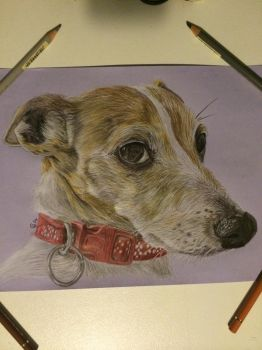 Milly the Jack Russell by saddlers