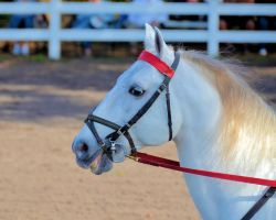 Lipizzaner Stallions 2 by Lauren-Lee