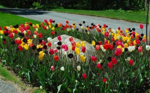 Mount Desert Island Tulips by BlueSolitaire