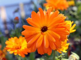 Orange Flowers by crazyal154