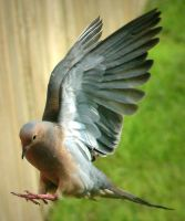 Mourning Dove Swoop by autumn-nightingale