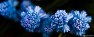 Little blue flowers by Yupa