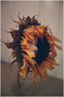 :My poor Sunflower friend: by LittleGeeky