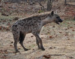 Spotted Hyena - stock by kridah-stock